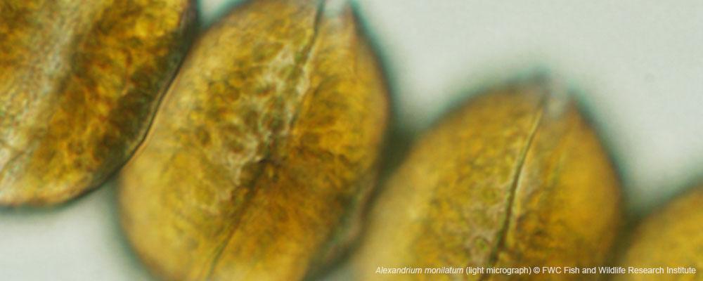 Alexandrium-monilatum-fwc