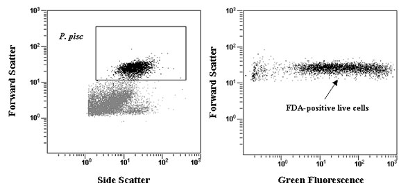 Fig 3. Histograms of flow cytometric viability assay of Pfiesteria piscicida after 30 seconds of high power sonification. Pfiesteria cells were detected by their light scatter signature, which was used to obtain a total cell count and to gate the histogram of green fluorescence. Cells in the region of positive FDA fluorescence were counted as live.