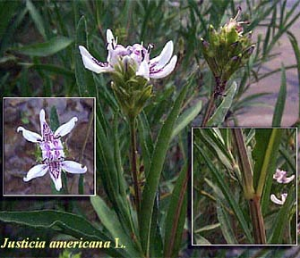 Closeups of the various parts of Justicia americana.